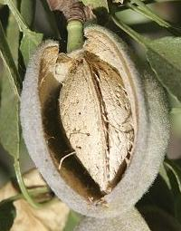 Botticelli_Venus_Mars_Fruit_amande-vulve