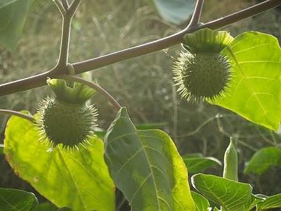 Botticelli_Venus_Mars_Fruit Datura Officinal