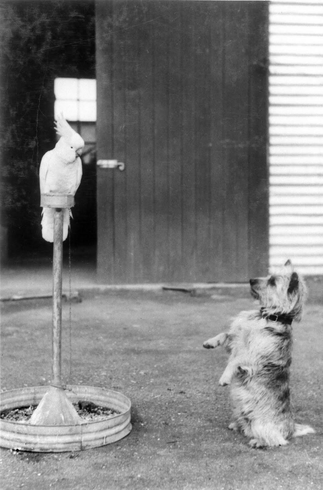 1943 mascots, Whacko the sulphur crested cockatoo, and Cobber the dog, Australia