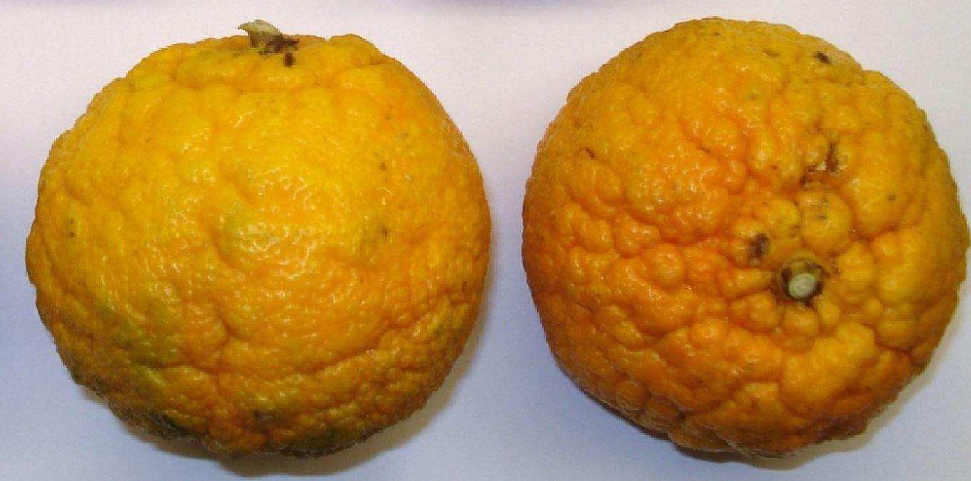 Citrus_×_aurantium